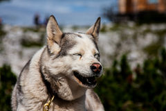 Laughing dog. Smiling laughing dog in the mountains side Royalty Free Stock Photos
