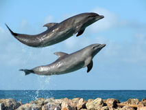 Laughing Dolphins Royalty Free Stock Images