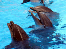 Laughing Dolphins Royalty Free Stock Image