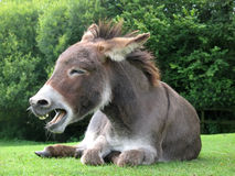 Laughing donkey Royalty Free Stock Photo