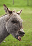 Laughing donkey Stock Images