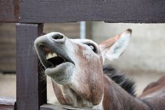 Laughing donkey and horse - funny donkey with horse with open mouthes. stock images