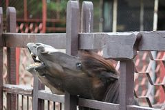 Laughing donkey and horse - funny donkey with horse with open mouthes. stock photos