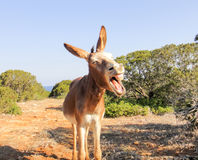 Laughing donkey. Northern Cyprus, Karpaz Royalty Free Stock Photos