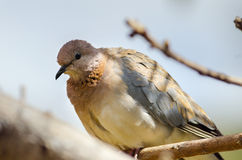Laughing Dove. Perched on a branch Stock Photo