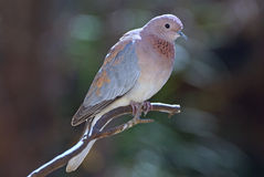 Laughing dove. Adult laughing dove perched on twig royalty free stock photos