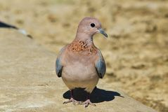 Laughing Dove - African Wild Bird Background - Posing Feathers Royalty Free Stock Images