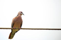 Laughing Dove Royalty Free Stock Image