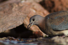 Laughing dove catching a drop of water Royalty Free Stock Photo