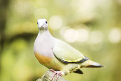 Laughing Dove. Royalty Free Stock Photos