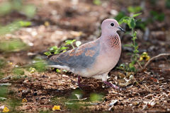 The laughing dove on the ground. The laughing dove & x28;Streptopelia senegalensis& x29; sitting on the ground royalty free stock image