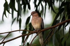 Laughing Dove in a Gum Tree Royalty Free Stock Photography