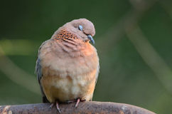 A Laughing dove with her eyes closed Stock Photo