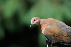Laughing dove. Laughuing dove and the green background Royalty Free Stock Image