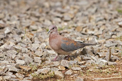 Laughing dove or little brown dove Stock Images