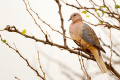 Laughing Dove. A Laughing (Palm or Senegal) Dove, perched in a thicket of thorn bushes in Kenya's Meru National Park Royalty Free Stock Photo