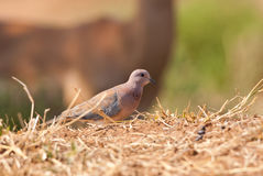 Laughing Dove Royalty Free Stock Photography
