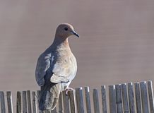 Laughing Dove Perched on a Bamboo Fence royalty free stock photos
