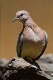 Laughing dove perched on rock Stock Images