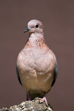 Laughing dove perched on rock Royalty Free Stock Photography