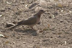 Laughing Dove sitting on the ground on a bright, sunny winter da Stock Photography