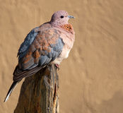 Laughing dove on slate Stock Photo