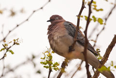 Laughing Dove Royalty Free Stock Images