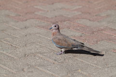 Laughing Dove Stock Images
