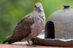 Ring-necked Dove (Streptopelia capicola) Royalty Free Stock Photography