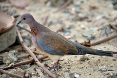 Laughing dove (Spilopelia senegalensis). Is a small pigeon that is a resident breeder in Sub-Saharan Africa, the Middle East east to the Indian Subcontinent Royalty Free Stock Photos