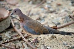 Laughing dove (Spilopelia senegalensis) Royalty Free Stock Photos