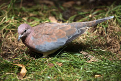Laughing dove (Spilopelia senegalensis). Royalty Free Stock Image
