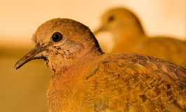 The laughing dove, Streptopelia senegalensis Stock Images