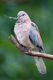 Laughing dove streptopelia senegalensis. Adult laughing dove with twig in beak Royalty Free Stock Photos