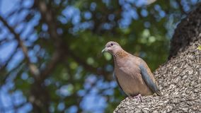 Laughing Dove on Tree Trunk. Laughing dove Streptopelia senegalensis is looking around while perching on tree trunk stock photos