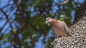 Laughing Dove on Tree Trunk. Laughing dove Streptopelia senegalensis is looking down while perching on tree trunk stock photography