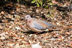 Laughing dove walking on dead leaves Stock Photography