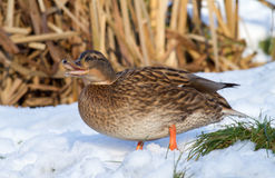 Laughing Duck in the snow Stock Photo