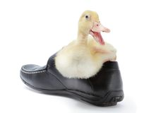Laughing duckling in shoe Stock Photo