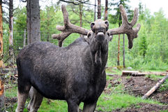 Laughing elk. Laughing  elk  in a moose-farm for orphaned elks in the woods of sweden Royalty Free Stock Photography
