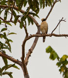 Laughing Falcon Royalty Free Stock Photography