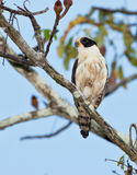 Laughing Falcon. A Laughing Falcon (Herpetotheres cachinnans) sits on it's watch place, always alert to detect a suitable prey Royalty Free Stock Image