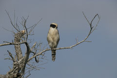 Laughing falcon, Herpetotheres cachinnans Stock Image