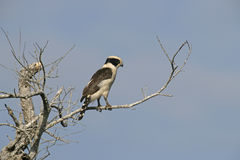 Laughing falcon, Herpetotheres cachinnans Stock Photo