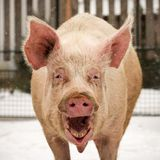 Laughing funny big pig. Animal portrait of laughing funny big pig outdoors Stock Photo