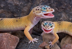 Laughing Geckos. Two leopard geckos appear to be laughing together Royalty Free Stock Photo