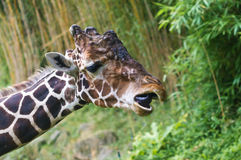 Laughing giraffe. A giraffe looking like being laughing Royalty Free Stock Images
