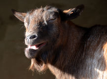 Laughing Goat Royalty Free Stock Photo