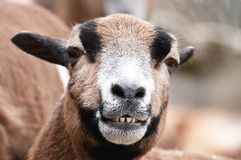 Laughing goat portrait Stock Photos