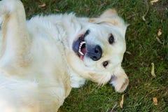 Laughing golden retriever Stock Photos